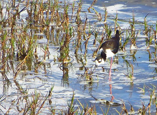black-necked stilt plover in anguilla