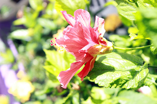 hibiscus snapshot