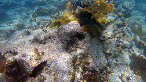 more fire coral at scrub island