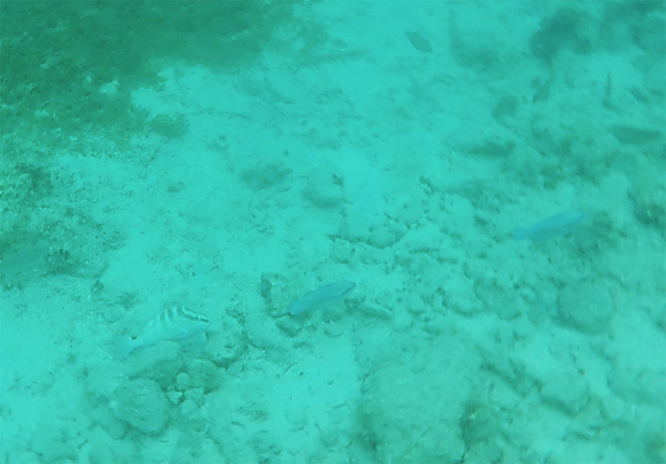 juvenila striped parrot fish anguilla
