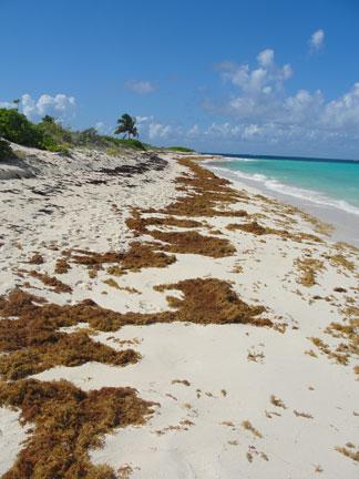 Anguilla beaches, Sargassum seaweed, Shoal Bay, Upper Shoal Bay