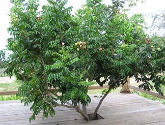 Black Pearl-Baring Tree