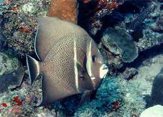Anguilla diving, french angelfish, Kathlee H, wreck dive