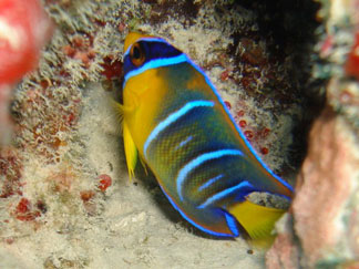 Anguilla diving, Dougie Carty, Oosterdiep wreck, reef fish