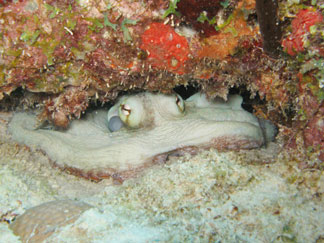 anguilla, diving, octopus, meads bay