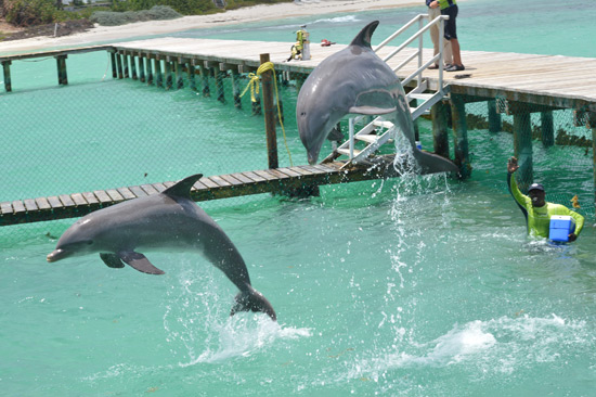 anguilla dolphin jump