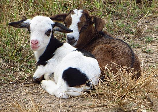 anguilla goats
