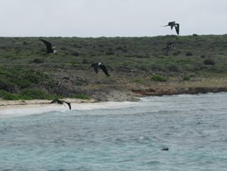 female frigates on dog island, anguilla attacking a booby
