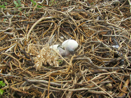 male frigate birds nesting