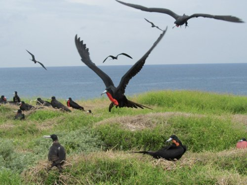 male frigate bird about to land