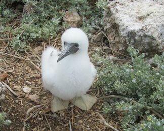 infant booby at dog island