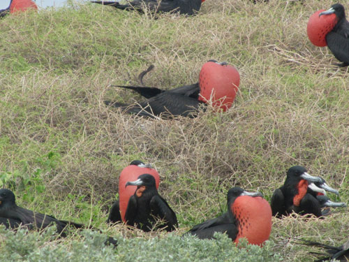 male frigate birds nesting