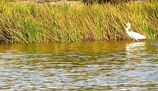 more egrets in anguilla
