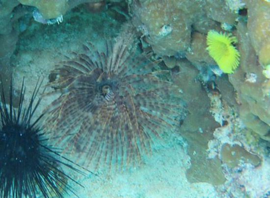 feather duster and yellow fan worm