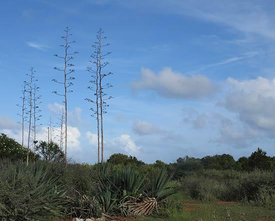 fiber pole tree aka a yucca in anguilla