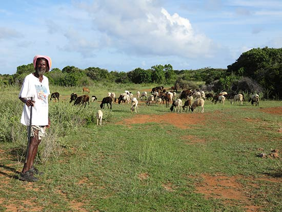 bringing home the sheep in anguilla