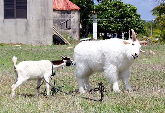 anguilla goats playing