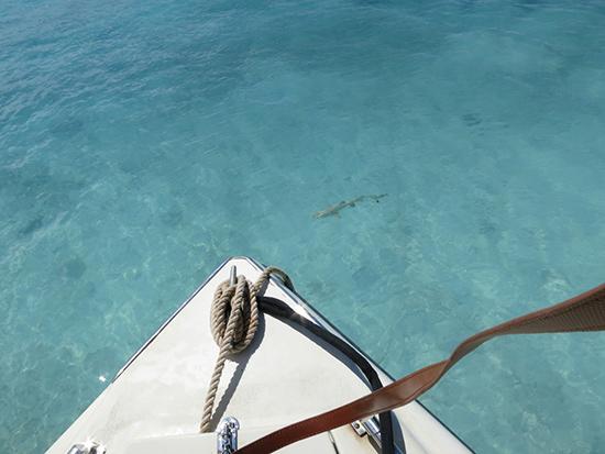 prickly pear sharks anguilla