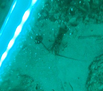 crayfish at night in anguilla