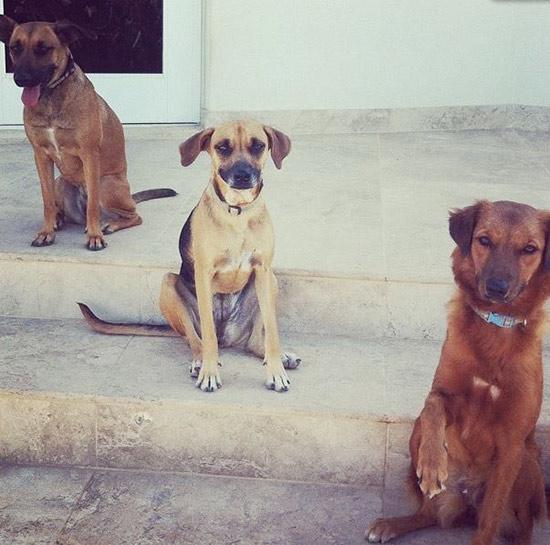 Anguilla dogs