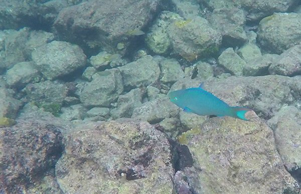 spectacular parrot fish at little bay