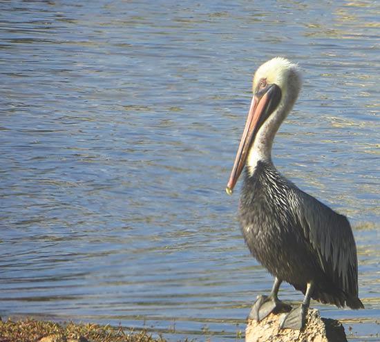 a beautiful pelican in anguilla