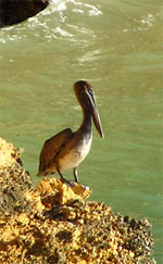 pelican by Pelican Bay