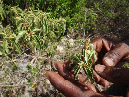 balsam bush in anguilla