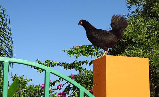 chicken in rincón puerto rico