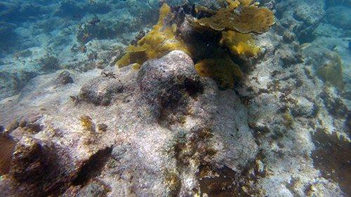 more fire coral at scrub island