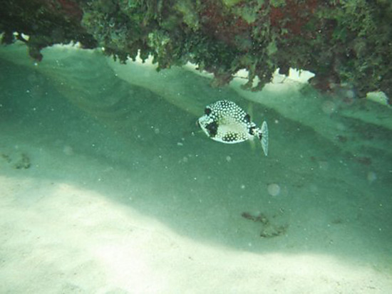 smooth trunk fish at shoal bay east