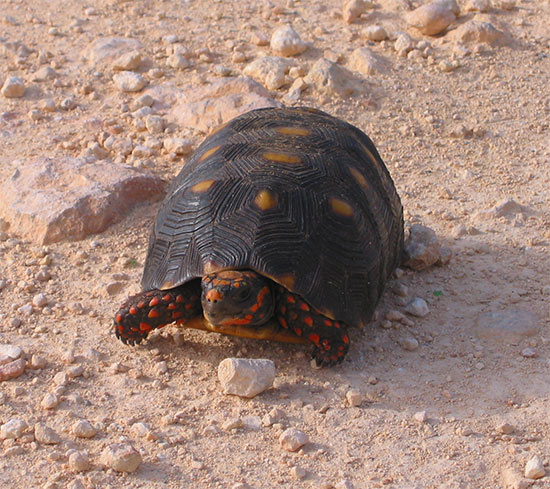 Turtle Anguilla
