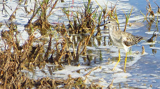 lesser yellowlegs in anguilla