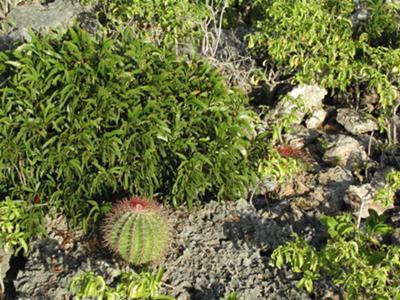 Anguillan Cactus