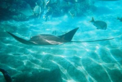 Underwater snorkeling photo of a big stingray and some beautiful reef fish.